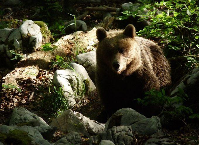 Indemnisation des dommages causés par l'ours