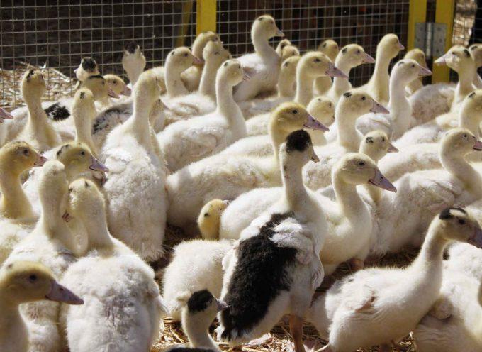 Grippe aviaire : point de situation en Haute-Garonne.
