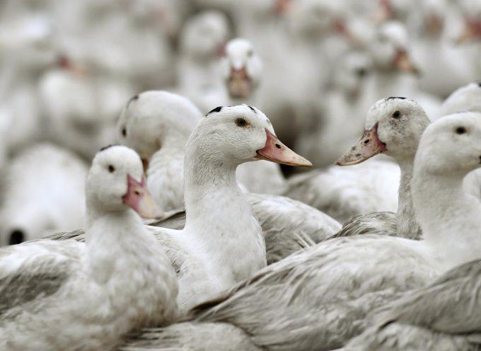 Grippe aviaire en Haute-Garonne: Le Conseil Départemental débloque une aide exceptionnelle pour les éleveurs.