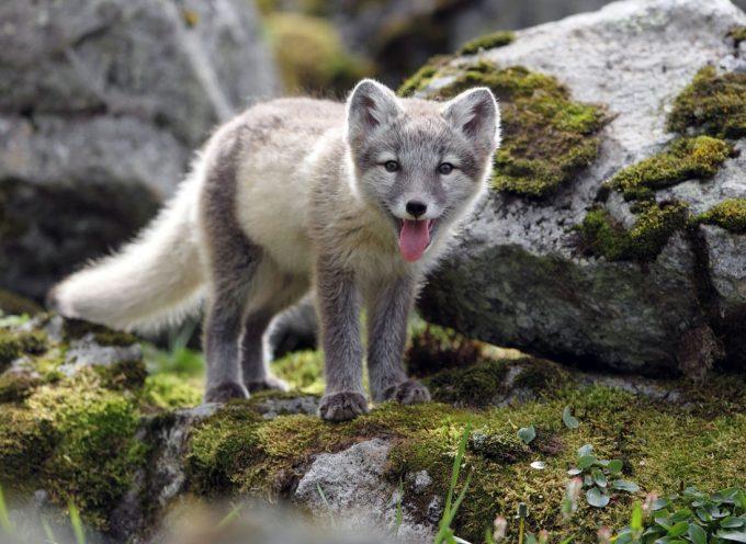 St Gaudens : Melrakki le renard polaire islandais.