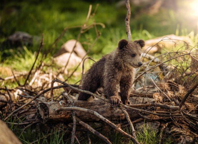 Un ourson en difficulté, la poursuite du sauvetage