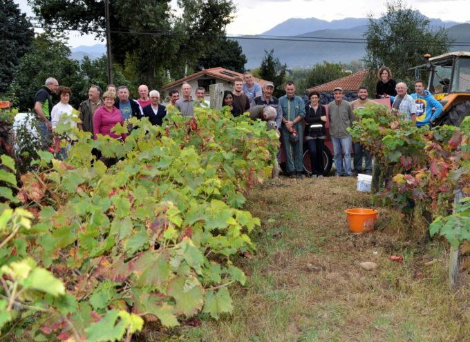 Montréjeau : Vendanges pour la dernière vigne de Montréjeau