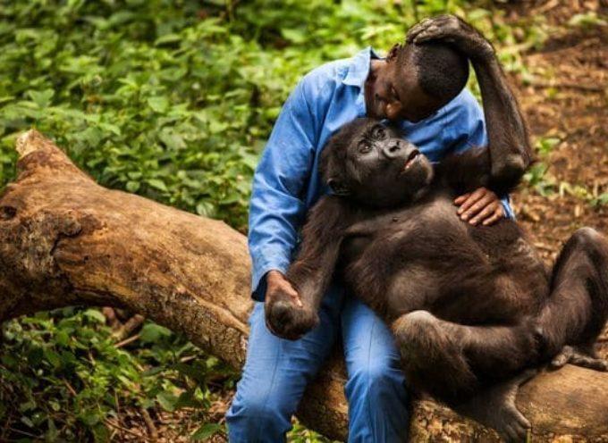 Covid-19 – Au Congo les gorilles aussi  se confinent pour se protéger du virus