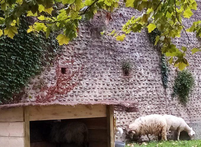 Auterive : Fin de la période de tonte par les brebis
